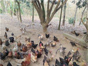 放养本地都捧着肚子了鸡