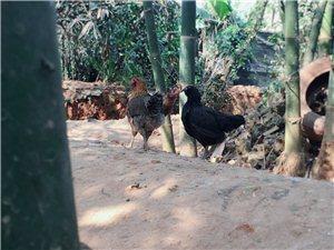儋州鸡出售