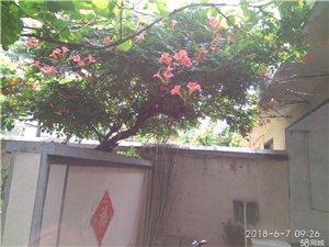 出售直經8公分凌霄花和大櫻桃樹、瀏蘇樹
