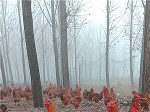 散養紅公雞