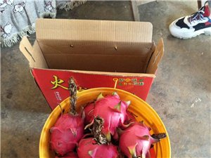出售红心火龙果苗,火龙果采摘,草莓采摘