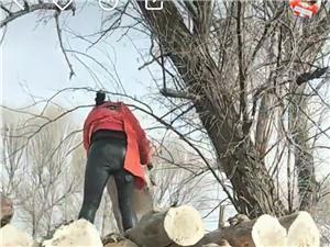 伐树  收树    收干木头  杨木 柳木