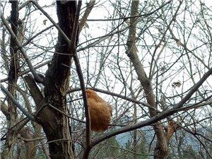 麦元庙树屋山上果园散养土鸡场