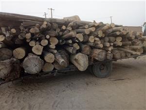 高价大量,伐树,收杨木,干死树