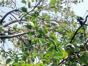 30多年木瓜��