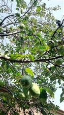 30多年木瓜树