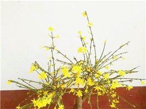 急售大量迎春花等各种盆景