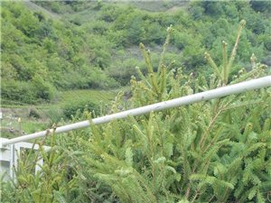 岷县境内求购一米云杉营养钵苗