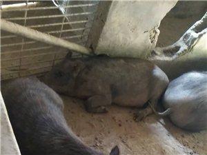 出售純正的野豬種豬跟小豬仔