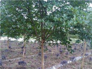 出售紫薇樹,球形紅繼木