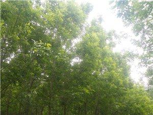 批發出售自種白蠟樹,柳樹