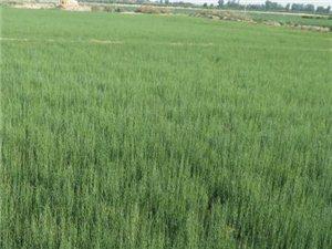 梭梭苗种植基地最新行情低价供应