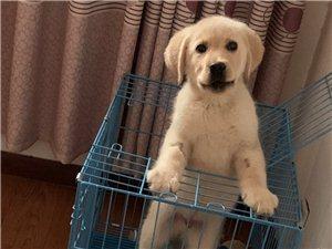 出售拉布拉多幼犬,5个月,由于没有时间养