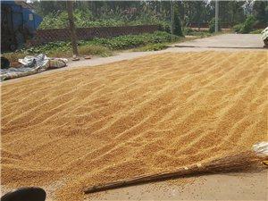 大量优质新黄豆出售