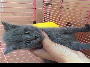 出售英短小藍貓,活潑健康