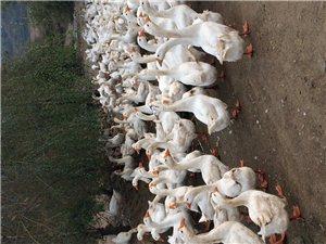 出售大白鵝12
