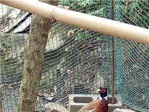 野雞孔雀生態養殖