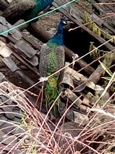 三角岩野鸡孔雀生态养殖