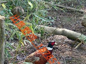 生态野鸡养殖