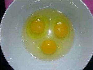 大量土鸡蛋,散养鸡,喂食玉米粒