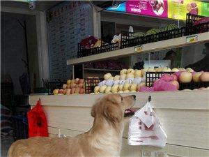 出售成年金毛犬