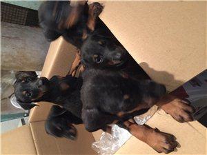 建水出自家繁殖小杜槟护卫犬