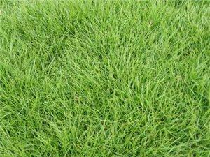 贛州草坪龍南綠化草皮