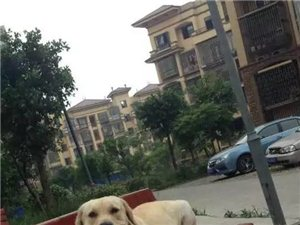 我家的米黄色拉布拉多犬丢失!谢谢大家帮帮忙找找