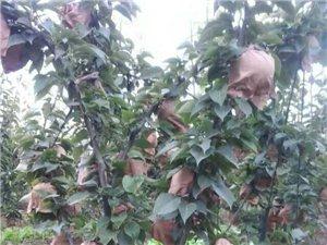 晚秋黄梨采摘园