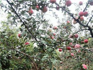 對外承包成熟期蘋果園
