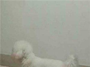 一只白色公比熊泪痕重,耳朵下面有淡淡粉色几乎看不出