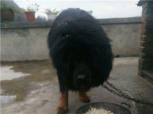 藏獒30个月