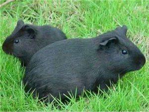 特种养殖黑豚