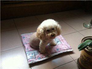 21号下午胜辛小区西门丢失米白色泰迪犬