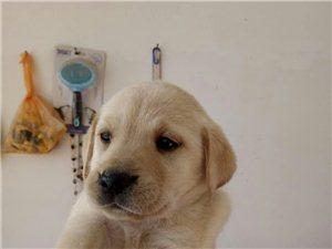 純種拉布拉多幼犬