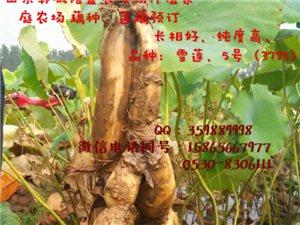 淺水藕種植