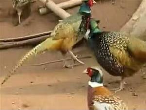 开阳出售野鸡