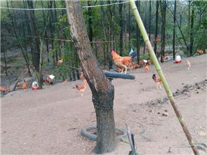自家山林散养土鸡,便宜出售