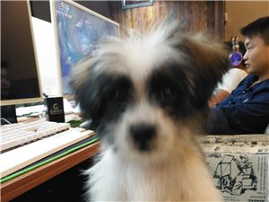 出售3个月大幼犬