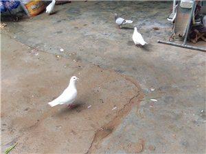 出售種鴿乳鴿