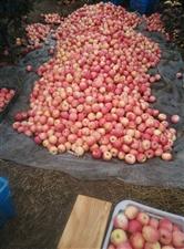 大量批发狼牙山富士苹果