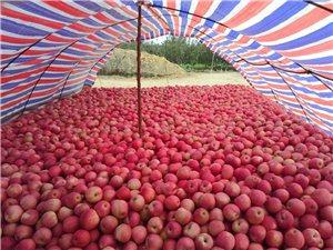 秦冠蘋果出售