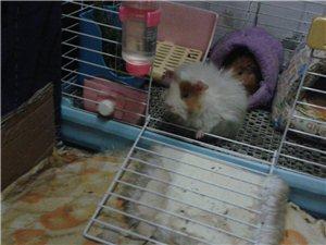 天竺鼠两只