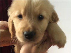 出售自家纯种金毛犬