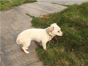 交警队附近捡到一只白狗
