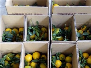 大量供应树上鲜果脐橙