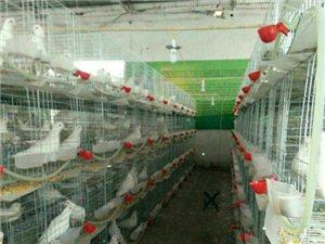 特种养殖美国白玉鸽