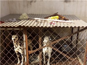 出售兩只斑點狗