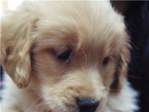 自家養的小金毛犬