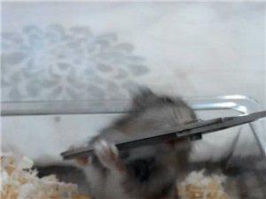迷你小仓鼠
